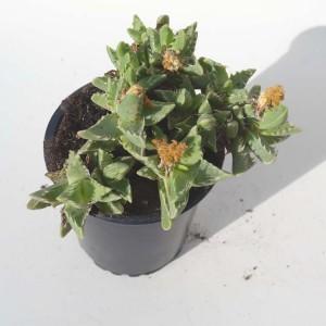 Faucaria Tigrina - Plant in 9 cm Pot - Tigers Jaw - South African Succulent