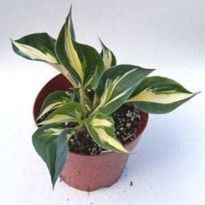 Hosta 'Fire and Ice' - Plant in 13 cm pot