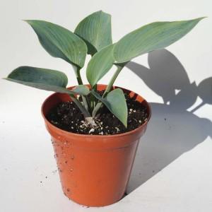Hosta 'Canadian Blue' - Plant in 12 cm pot