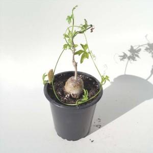 Kedrostis Nana - Plant in 9 cm Pot - Caudex Climbing Succulent