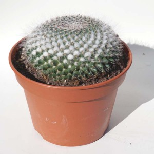 Mammilaria Hahniana - Plant in 15 cm Pot - Old Lady Cactus