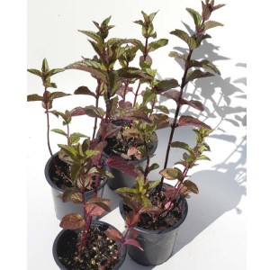 Peppermint 'After Eight' - Plant in 9 cm pot - Mentha X Piperita Peppermint
