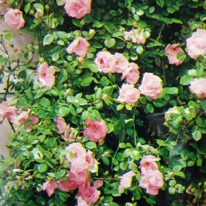 Climbing Pink Rose - Plant ready to pot and grow!