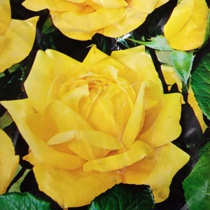 Standard Yellow Rose - Plant ready to pot and grow!