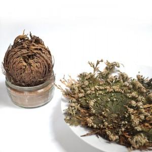 Rose of Jericho - Selaginella Lepidophylla - Dinosaur Resurrection Plant