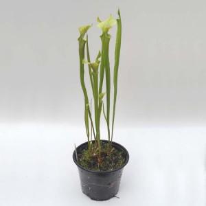 Sarracenia Flava Hybrid - Plant in 13 cm Pot - Carnivorous Plant