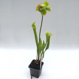 Sarracenia Flava / Purpurea Hybrid - Plant in 7 cm Pot with Flower!