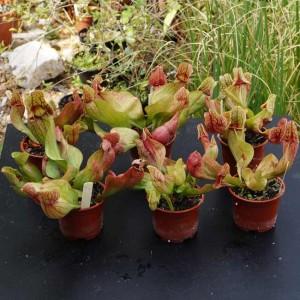 Sarracenia Purpurea v Purpurea - PLANT - Carnivorous Pitcher Plant