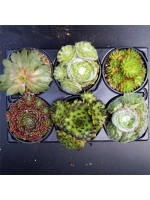 Sempervivum Succulent Houseleek - 6 Plant Pack of 9cm pots