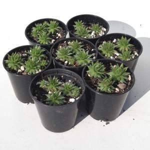 Sempervivum - 1 Plant in 6 cm Pot - Houseleek Liveforever
