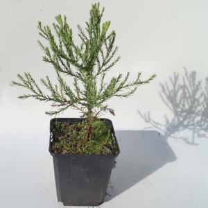 Sequoiadendron Giganteum - Plant in 9 cm Pot - Giant Sequoia Redwood Tree
