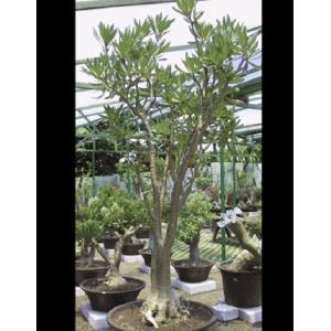Adenium Somalense - 5 Seeds - Pachycaul South African Tree