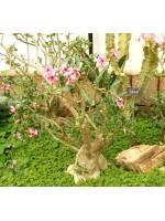 Adenium Obesum - 10 Seeds - Pachycaul South African Tree