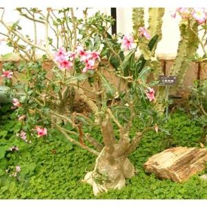 Adenium Obesum - 5 Seeds - Pachycaul South African Tree