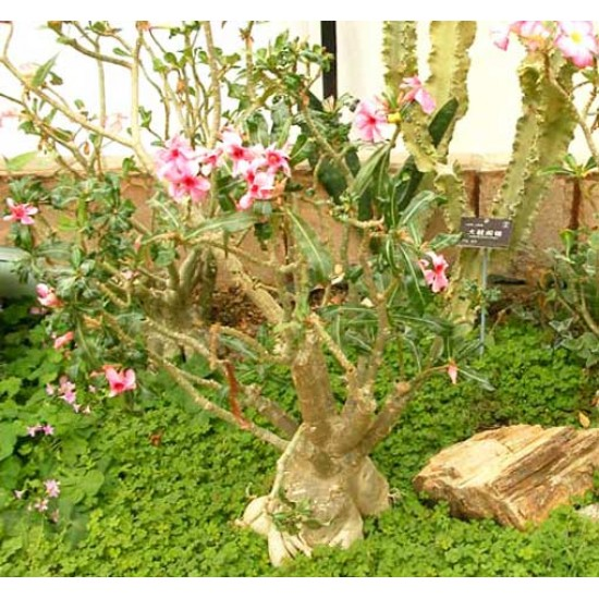 Adenium Obesum - 5 Seeds - Pachycaul South African Tree