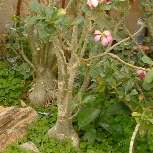Adenium Multiflorum - 10 Seeds - Pachycaul South African Tree