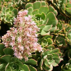 Aeonium Lancerottense - 25 Seeds - Lanzarote Giant Houseleek