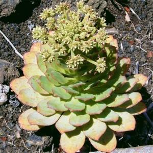 Aeonium Ciliatum - 25 Seeds - Saucer Plant Succulent