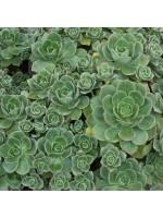 Aeonium Haworthii - 25 Seeds - Haworths Aeonium Pinwheel