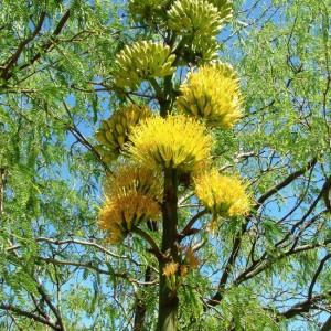 Agave Chrysantha - 50 Seeds - Golden Flowered Centuary Flower