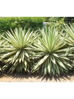 Agave Angustifolia v Marginata - 10 Seeds - Variegated Caribbean Agave