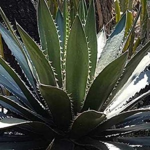 Agave Megalodonta - 10 Seeds - Shark Tooth Agave