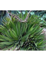 Agave Obscura - 10 Seeds
