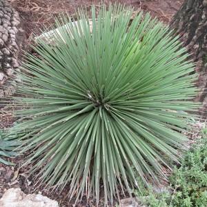 Agave Stricta - 10 Seeds - Hedgehog Agave!