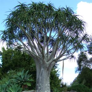 Aloe Barberae (Aloidendron) - 10 Seeds - Giant Tree Aloe