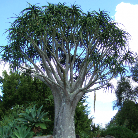 Aloe Barberae (Aloidendron) - 10 Seeds - Giant Tree Aloe