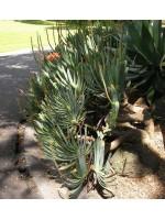 Aloe Plicatilis Seeds - Fan Aloe Succulent
