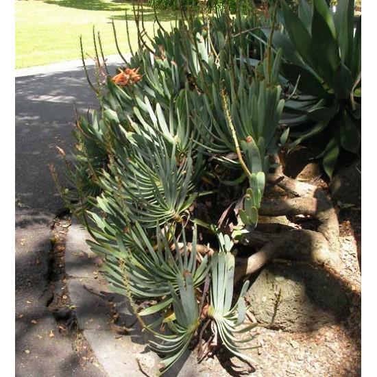 Aloe Plicatilis - 5 Seeds - Fan Aloe Succulent
