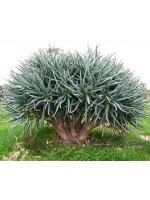 Aloe Ramosissima - 10 Seeds - Maidens Quiver Tree
