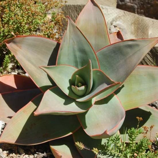 Aloe Striata - 10 Seeds - Coral Aloe