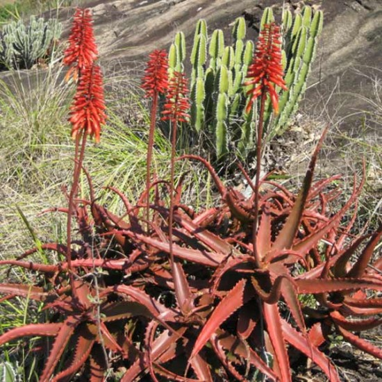 Aloe Cameronii - 10 Seeds - Red Aloe