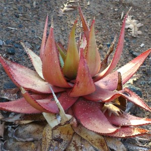 Aloe Microstigma - 10 Seeds - African Succulent