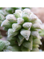 Anacampseros Arachnoides - 15 Seeds - South Africa Rosette Succulent