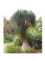 Beaucarnea Gracilis - 10 Seeds - Mexican Pony Tail Palm