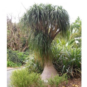 Beaucarnea Gracilis - 10 Seeds - Mexican Pony Tail Palm