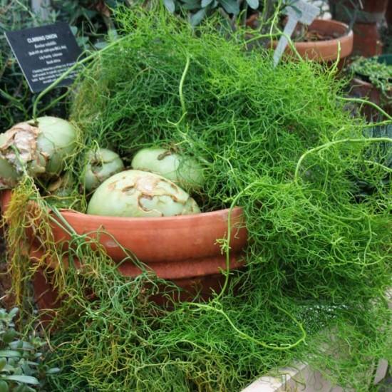 Bowiea Volubilis Seeds - Caudex Forming Succulent