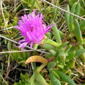 Carpobrotus Rossii - 50 Seeds - Australian Succulent Ice Plant / Pigface Mesemb
