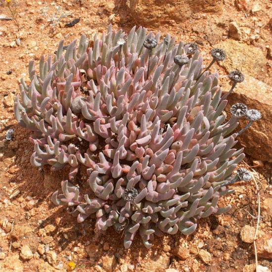 Cheiridopsis Denticulata - 15 Seeds - Mesembryanthemum Succulent