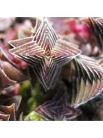 Crassula Capitella ssp Thyrsiflora - 25 Seeds - Red Pagoda Plant Succulent