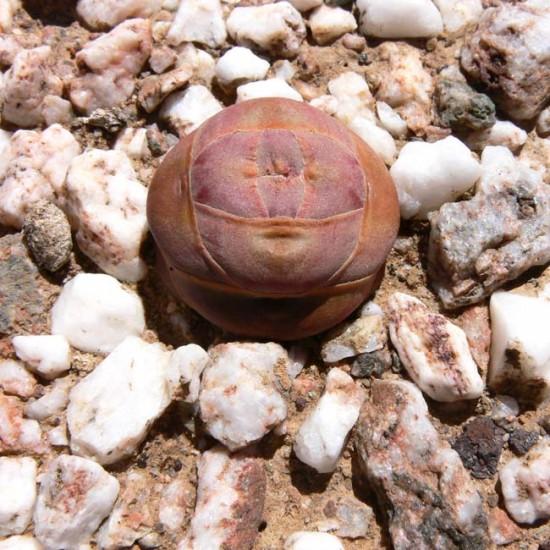 Crassula Columnaris - 25 Seeds - Buddha's Temple South African Succulent