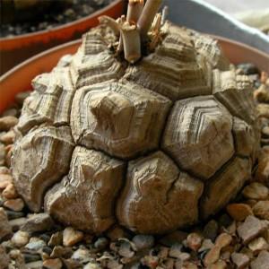 Dioscorea Testudinaria Elephantipes - 8 Seeds - Caudex Succulent