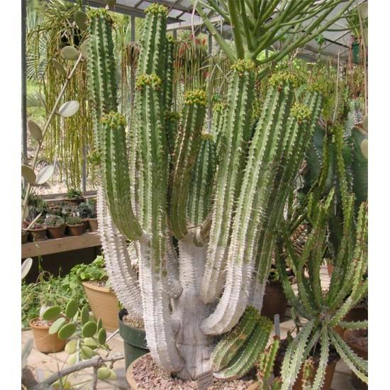Euphorbia Handiensis - 10 Seeds - Jandía Spurge