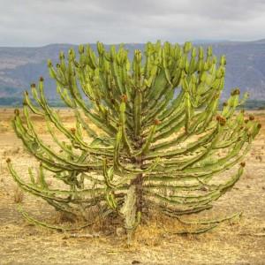 Euphorbia Candelabrum - 10 Seeds - African Succulent