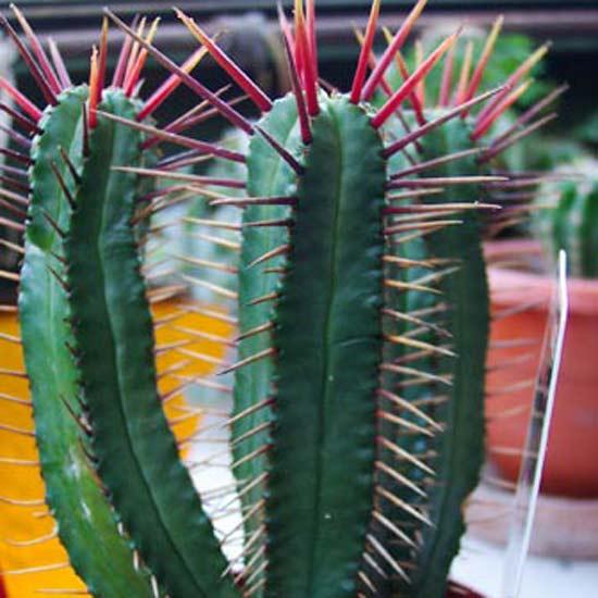 Euphorbia Pentagona - 10 Seeds - South Africa Succulent