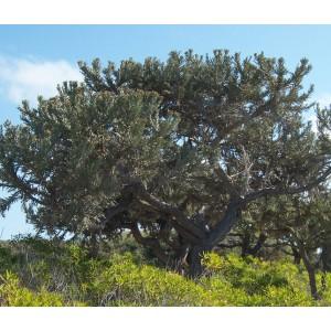 Euphorbia Stenoclada - 10 Seeds - Silver Thicket Madagascar Succulent Shrub