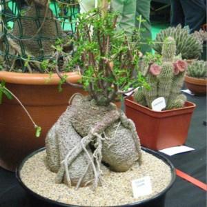 Fockea Edulis - Seeds - Caudex Forming South African Pachycaul